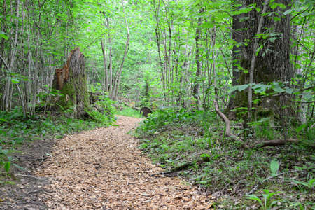 sigulda: Wooden passway in the forest  Sigulda  Stock Photo