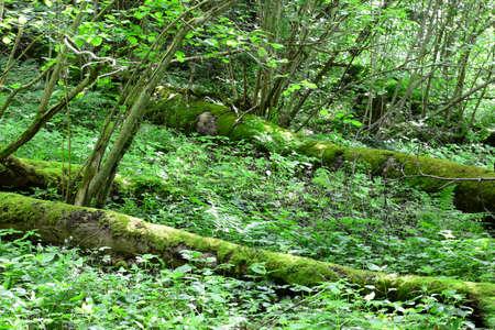 sigulda: Troncos cubiertos de musgo viejas en el bosque Sigulda, naturaleza