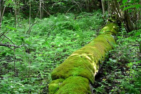 sigulda: Old mossy log in the forest  Sigulda, nature Stock Photo