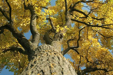 Mossy tree with yellow leaves under blue sky.