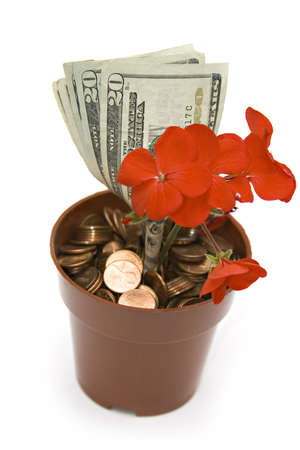 A garden pot of pennies growing a money plant in full bloom on white background