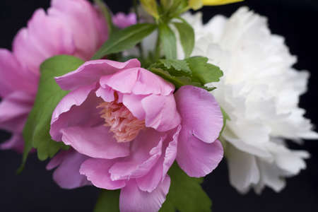 arrangment: Close-up of peony flowers in an arrangment on black background - shallow depth of field.  Focus on pinkflower in foreground