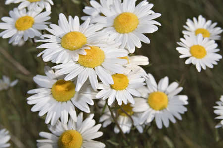 Daisies growing on the side of the road Stock Photo