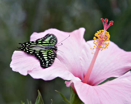 An Amazon butterfly, the Tailed Jay on a pink hybiscus flower. Flourescent green, black, pink. photo