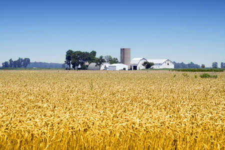 bounty: A farm in the distance - wheat crops in foreground - located in Ohio. Stock Photo