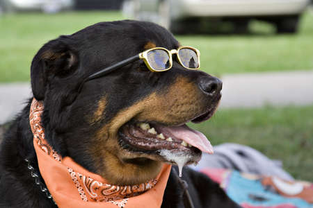 drool: Rottweiler wearing a neck scarf and sunglasses enjoys summer afternoon in park.