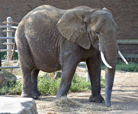 poach: Elephant at The Cleveland Zoo.