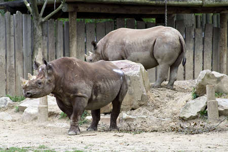 Two rhinoceros at the Cleveland Zoo. Banco de Imagens