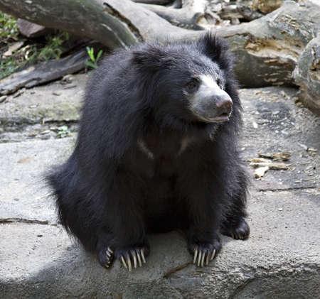 A sloth bear native to India.  The Cleveland Zoo - Ohio Stock Photo