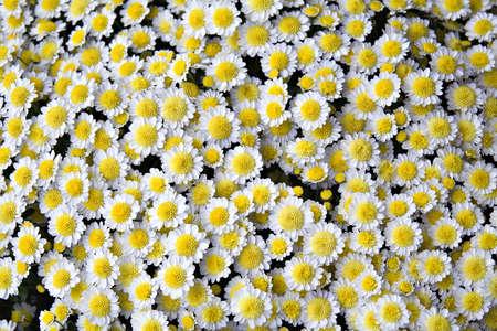 White and yellow mum flowers - part of daisy family - background Stock Photo - 547040