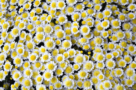 White and yellow mum flowers - part of daisy family - background Stock Photo - 547040