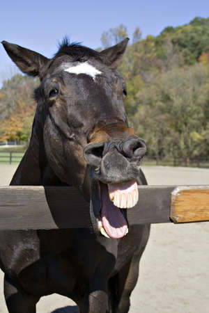 A horse that appears to be laughing.