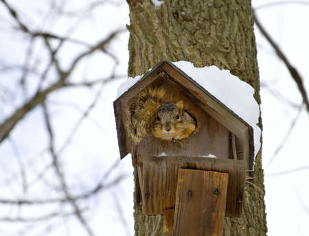 temporary: A squirrel makes a temporary shelter out of a birdhouse on a cold winter day.