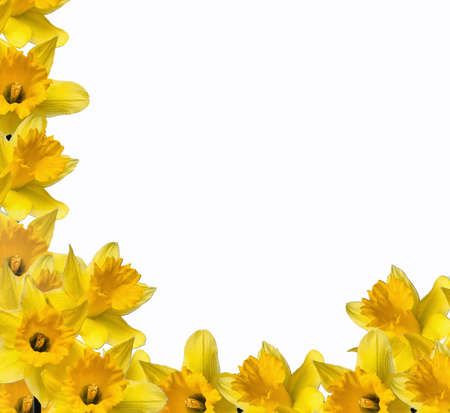 A border of yellow daffodils isolated on white. Stock Photo - 738129