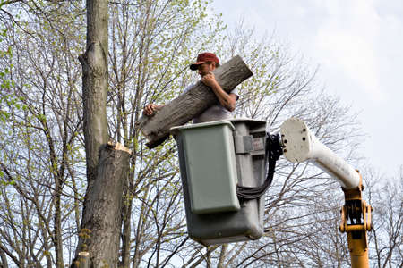 Tree worker cutting down large tree from bucket lift.  Imagens
