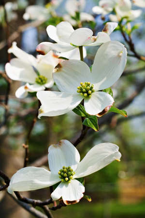 dogwood tree: A dogwood tree blooming in Ohio in the spring.