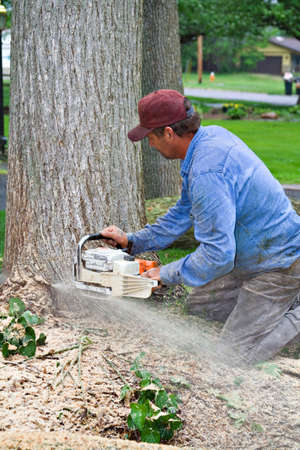 A worker cutting down a dead elm tree with chainsaw.