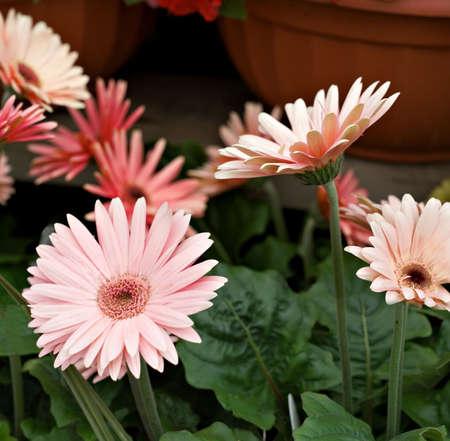 ollas de barro: Gerbera Daisie en tonos de rosado y salm�n - ollas de barro en el fondo.  Foto de archivo