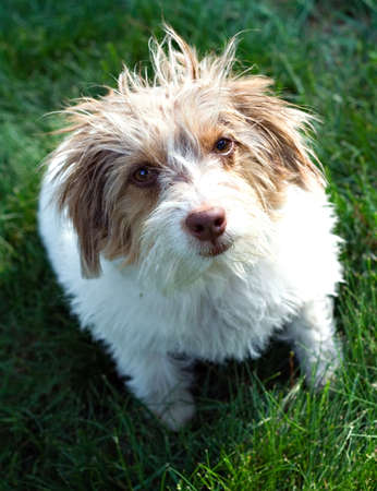 adopted: Cute dog that was adopted from pound - funny hair (fur).