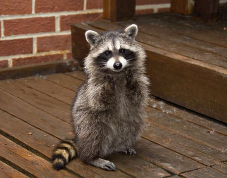 A spring raccon that lives in an Ohio suburb - looks like he's begging.