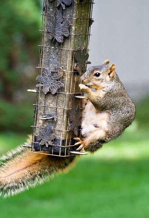 다람쥐는 다람쥐 방지 조류 피더에서 해바라기 씨앗을 훔치는 방법을 알아냅니다.