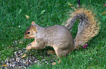 뒷마당 피더에서 조류 씨앗을 먹는 북부 오하이오 다람쥐.