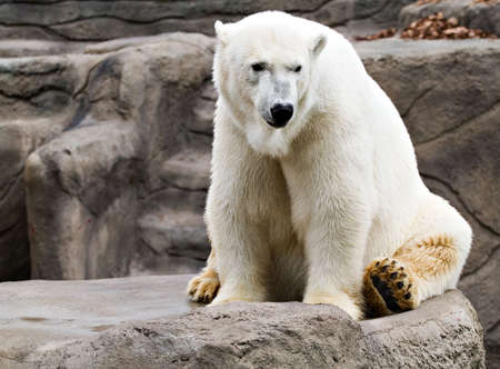 resides: A polar bear resides at the Cleveland Zoo.