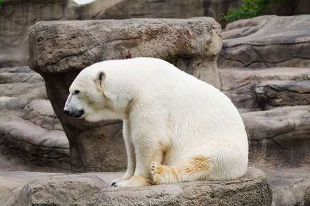 resides: A polar bear that resides in the Cleveland Metro Park Zoo
