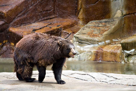 A large shaggy brown bear in the Cleveland Zoo. Reklamní fotografie - 1357646