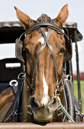 amish buggy: An Ohio Amish owned buggy horse is tethered outside of the market. Stock Photo