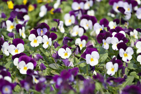 purples: A floral pansy background of purples and white, green, yellow - selective focus.