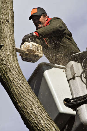 A man removing a dead tree from a bucket lift and chain saw.  photo