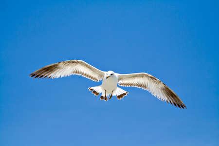 A sea gull in flight with wings spread on very blue sky.