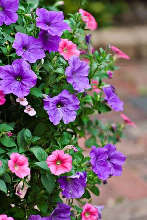 hanging basket: A hanging  basket of pink and purple petunias.