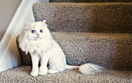 haircut: A cute white house cat with a lion haircut