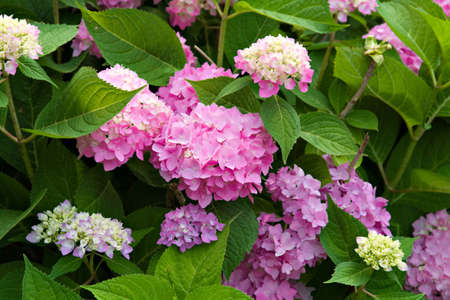 pinks: Beautiful hydrangea bush of pinks and lavender shades.  Lush green leaves.