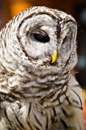 barred: Closeup of a  barred owl in captivity.
