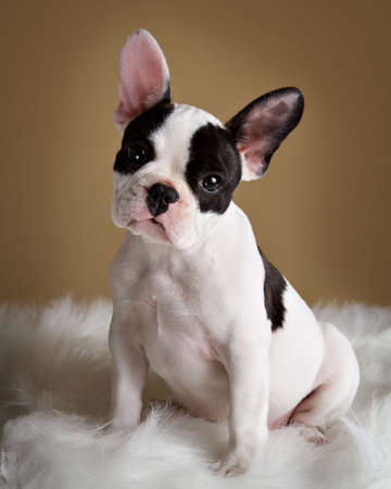 French bulldog puppy poses with a inquisitive look.   pet.