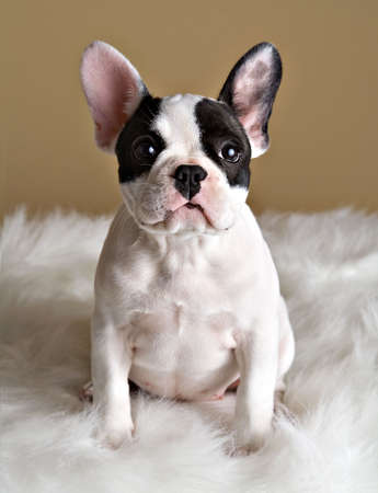 French bulldog puppy poses with a inquisitive look. 版權商用圖片
