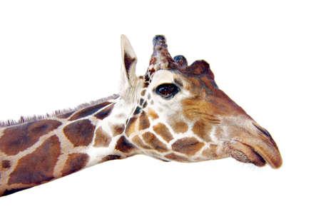 A giraffe long neck and head.