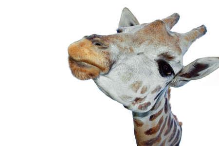 Closeup of giraffe head white background.