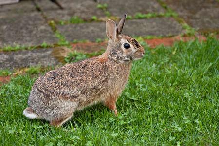 Ohio rabbit in a residential neighborhood. Stock Photo - 6891666