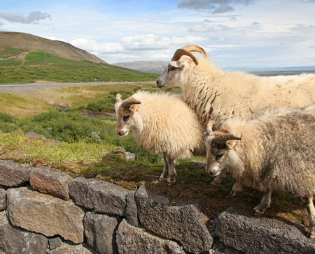 Icelandic Sheep in the Countryside Stock Photo