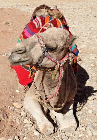 saddle camel: Arabian Dromedary Camel Stock Photo