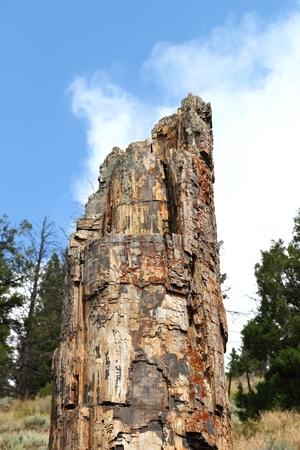 Petrified Tree in Yellowstone