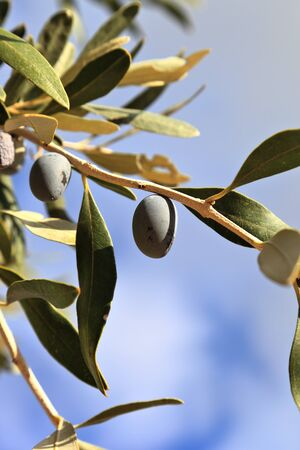 Kalamata Olive