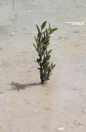 mangrove forest: mangrove  forest rehabilitation