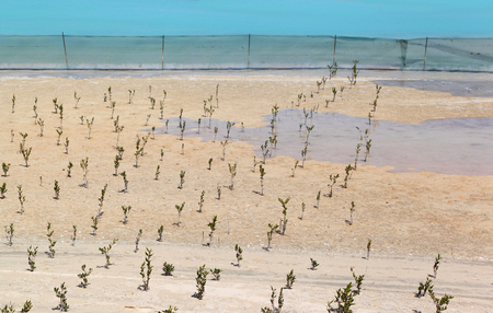 replanting: mangrove  forest rehabilitation