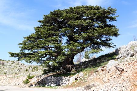 Der Libanon-Zedern