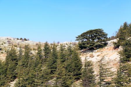 cedar: cedro del L�bano